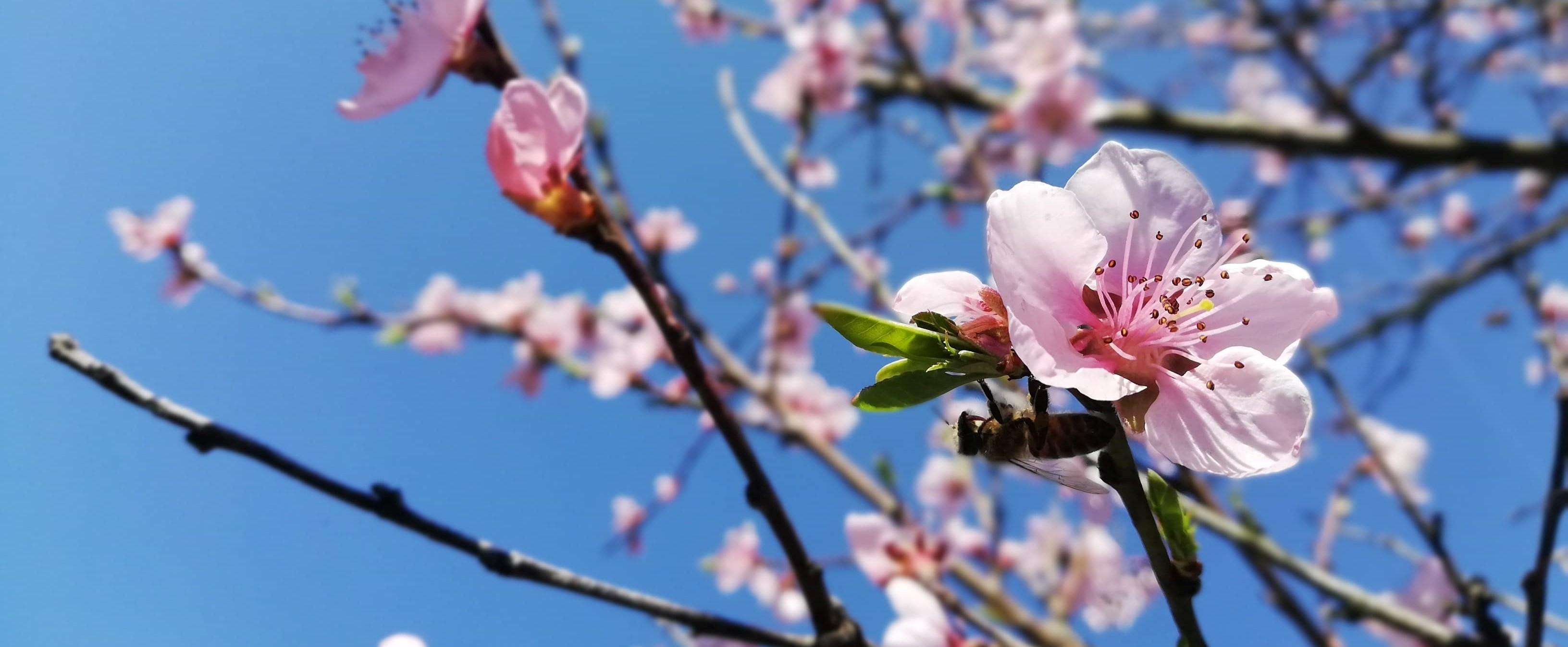 Zdjęcie kwitnącego drzewa brzoskwini.