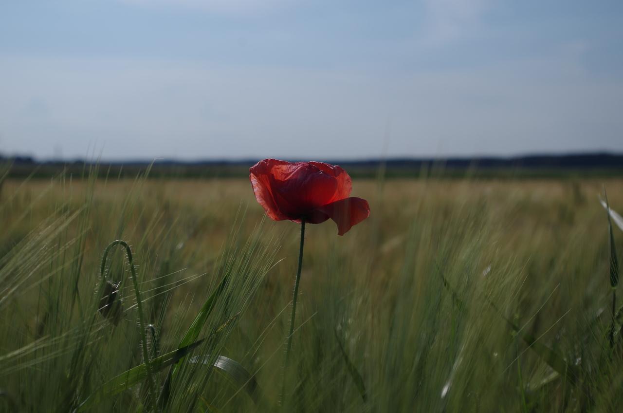 Zdjęcie maku na tle pola z zielonymi zbozmai.